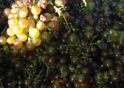 raisins blancs hermitage